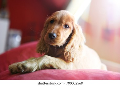 Beautiful brown English cocker spaniel puppy posing on red couch looking little bit a wistful and sad