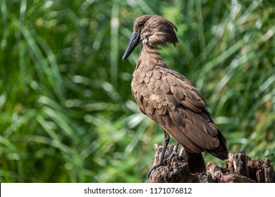 A beautiful brown feathered hammerhead bird stands on a tree stump on the lookout. The hamerkop is a medium-sized waterbird in south to middle Africa.