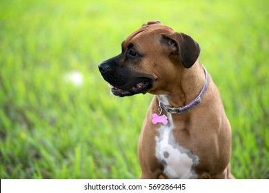 Beautiful brown female boxer dog