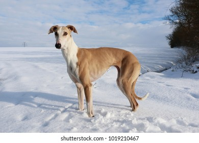 beautiful brown galgo is standing in the snow