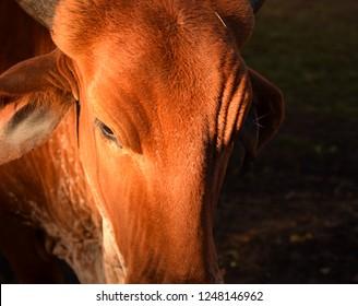 beautiful brown gir cow closeup