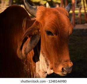 beautiful brown gir cow in sunlight closeup