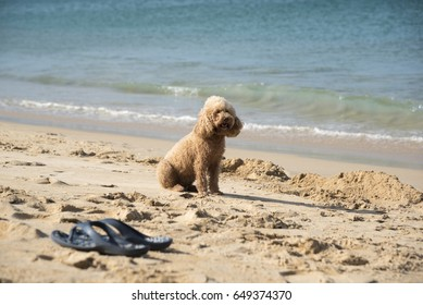 A beautiful brown gog sitting at the beach