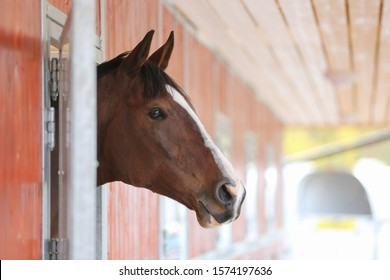 A beautiful brown horse looks out from the box in a stable.