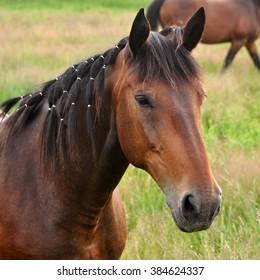 Beautiful brown horse nature
