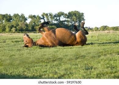 beautiful brown horse rolling on the grass