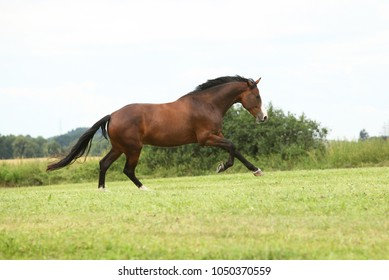 Beautiful brown horse running in freedom on the grass