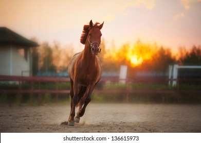 beautiful brown horse running in the paddock at sunset