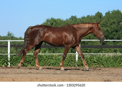 Beautiful brown horse in stable