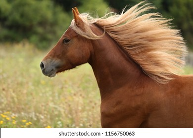 beautiful brown horse, welsh pony running with long mane, galloping horse, equine portrait