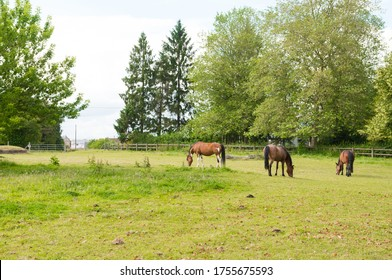 Beautiful brown horses in captivity. Eating grass in a field. Equestrian center horse. Sunny spring day.