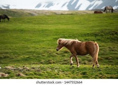 Beautiful brown icelandic horse walking on green grass