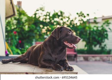 Beautiful brown labrador