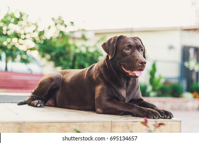 Beautiful brown labrador