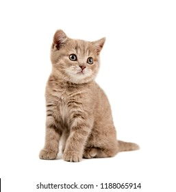 the beautiful brown little  kitten, sit on white background, isolated