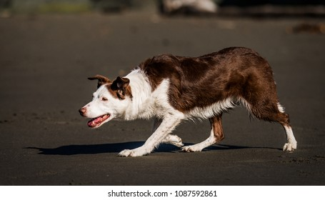 A beautiful brown or liver and white Border Collie herds on a warm and sunny California beach. Low crawl, style, stylish herding, strong instincts. Working dog