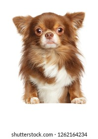 Beautiful brown longhaired Chihuahua dog above banner, isolated on white background