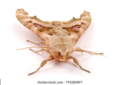 Beautiful brown night butterfly on a white isolated background. View from the front