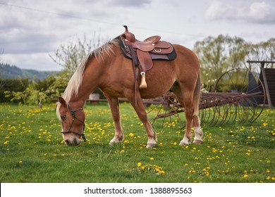 Beautiful brown ridin  horse saddled up with rodeo style saddle and ready to be ridden waiting, resting and grazing on the pasture land or meadow yellow blossoms of dandelions during spring cloudy day