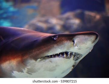 Beautiful brown shark close up in aquarium.