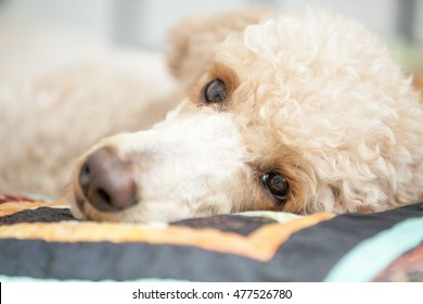 A beautiful brown standard Poodle close-up