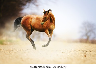 beautiful brown thoroughbred horse stallion running in nature