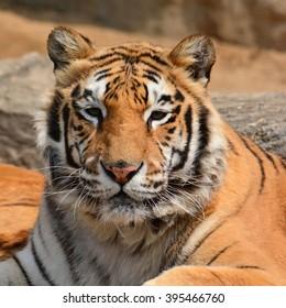 Beautiful Brown Tiger Closeup