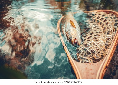 """Beautiful brown trout in fishing landing net. Fishing principle of """"catch and release""""."""