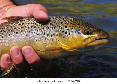 Beautiful brown trout, salmo trutta