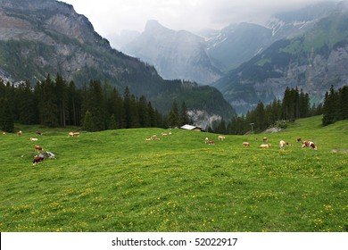 Beautiful brown and white cows are contentedly grazing in a meadow in the Swiss Alps near Kandersteg