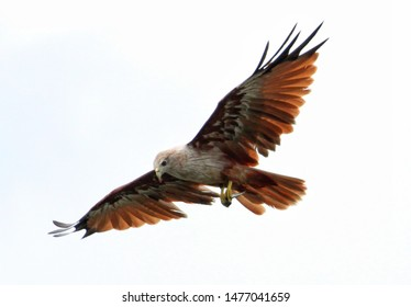 Beautiful brown white eagle flying majestically in sky for hunting on pray