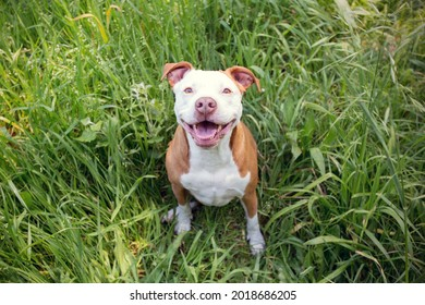 A beautiful brown and white Pitbull dog in a forest. Sitting on the grass. Looking up.