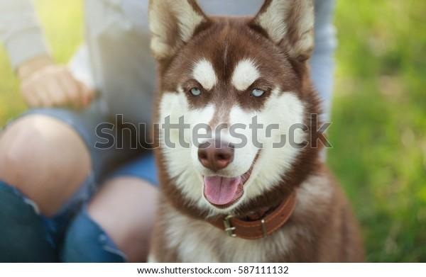 Beautiful Brown White Siberian Husky Puppy Stock Photo (Edit
