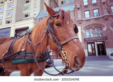 Beautiful brown young carriage horse on the Chicago street