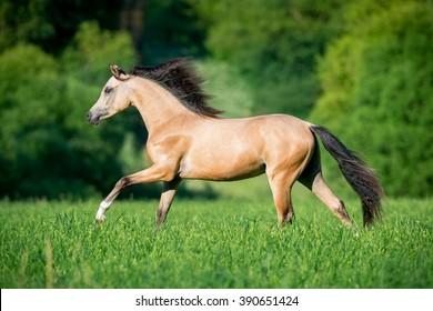 Beautiful buckskin horse running in forest