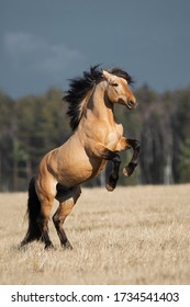 Beautiful buckskin rearing horse with long mane on natural summer background