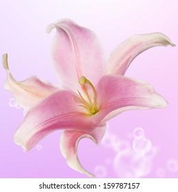 Beautiful bud pink exotic lily