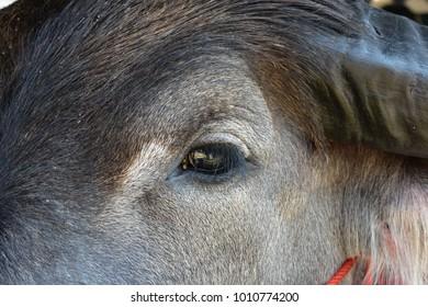 beautiful buffalo eye