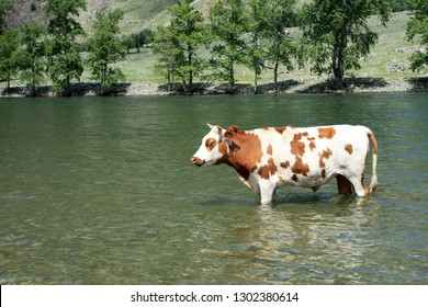 A beautiful bull stands in the water in the Chelusman Valley in the Altai Republic in Russia.