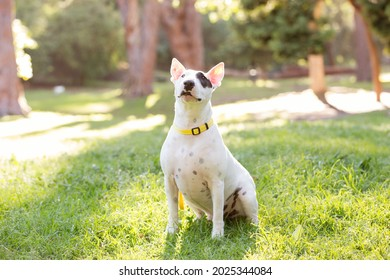 A beautiful Bull Terrier dog in a forest. Wearing a yellow collar. In a lush green forest. Sitting on the grass. White dog with a black patch.