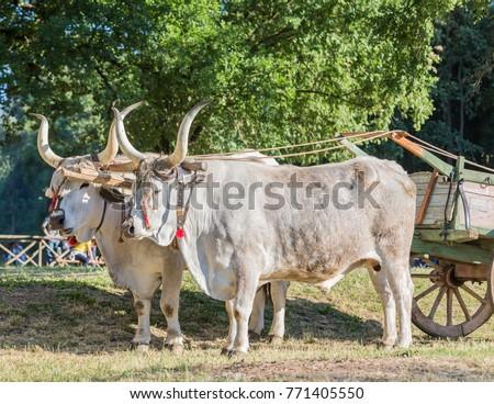 Beautiful Bulls Long Horns Nose Ring Stock Photo Edit Now