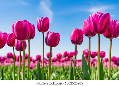 Beautiful bunch of bright pink tulips in the sun against a blue sky with white clouds.