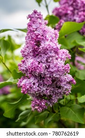 Beautiful bunch of lilac closeup. Lilac Flowering. Lilac Bush Bloom.
