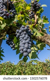 Beautiful bunches of black grapes taken from below against the blue sky of a sunny day