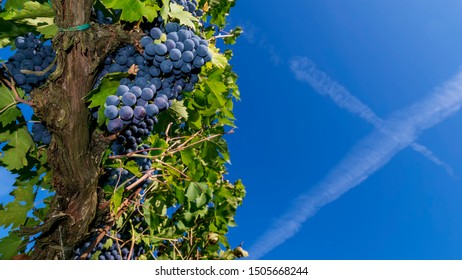 Beautiful bunches of black grapes taken from below against the blue sky of a sunny day just before the harvest