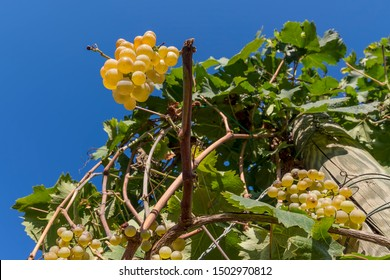 Beautiful bunches of white grapes taken from below against the blue sky of a sunny day just before the harvest