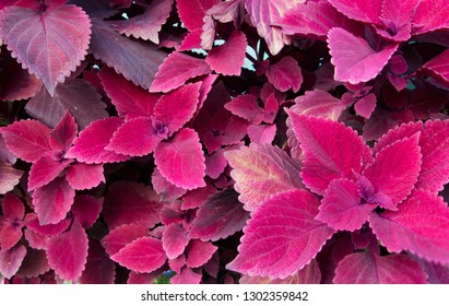 Beautiful Burgundy Coleus. Coleus is a bright colorful annual that is shade loving and drought resistant. It is very popular with gardeners for these reasons.