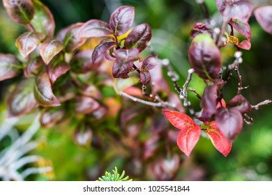 Beautiful Burgundy Leaves