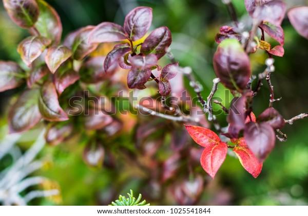 Beautiful Burgundy Leaves