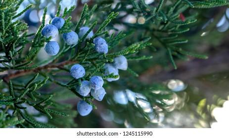 Beautiful bush of a juniper with berries